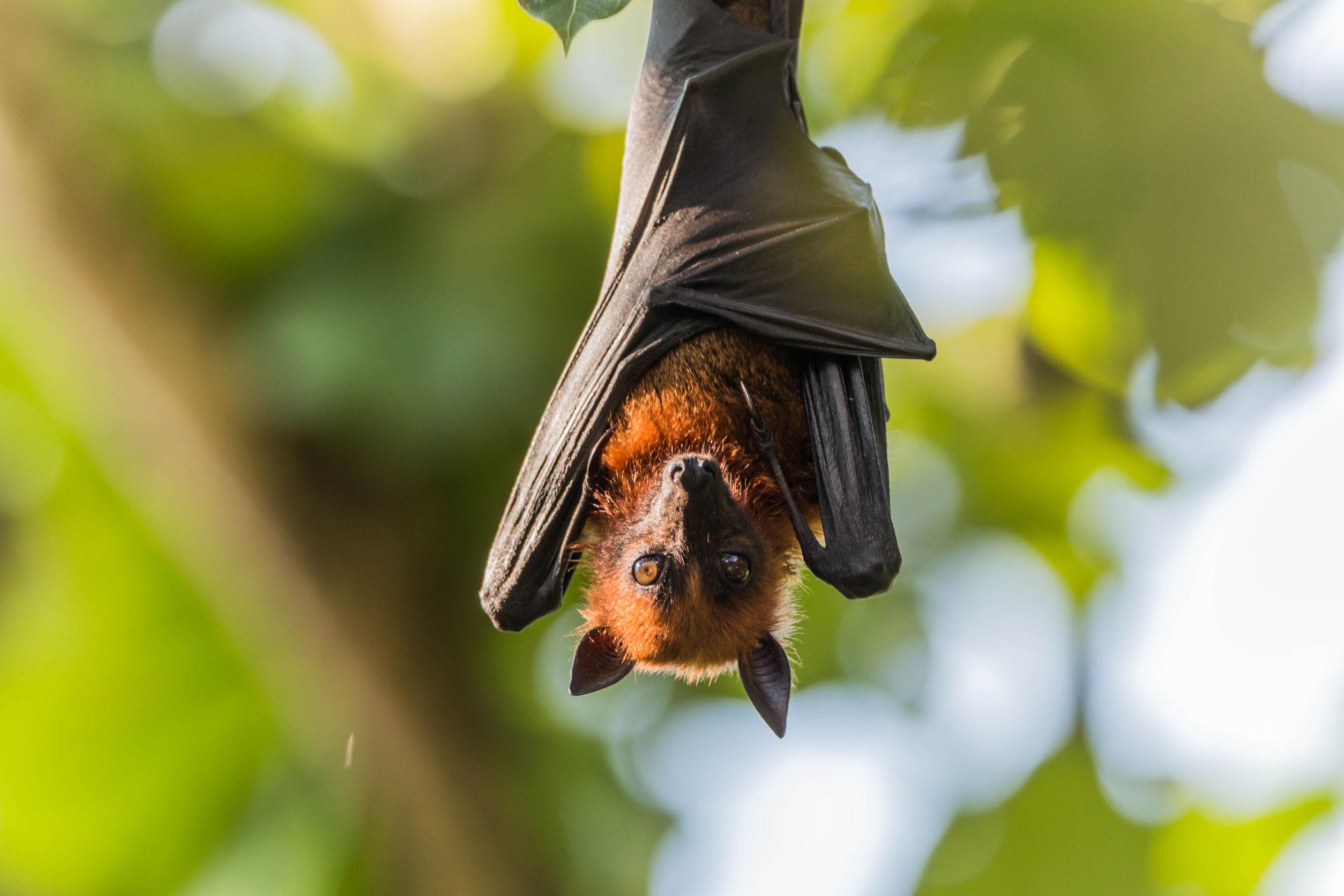 Bat removal in Alexandria Virginia