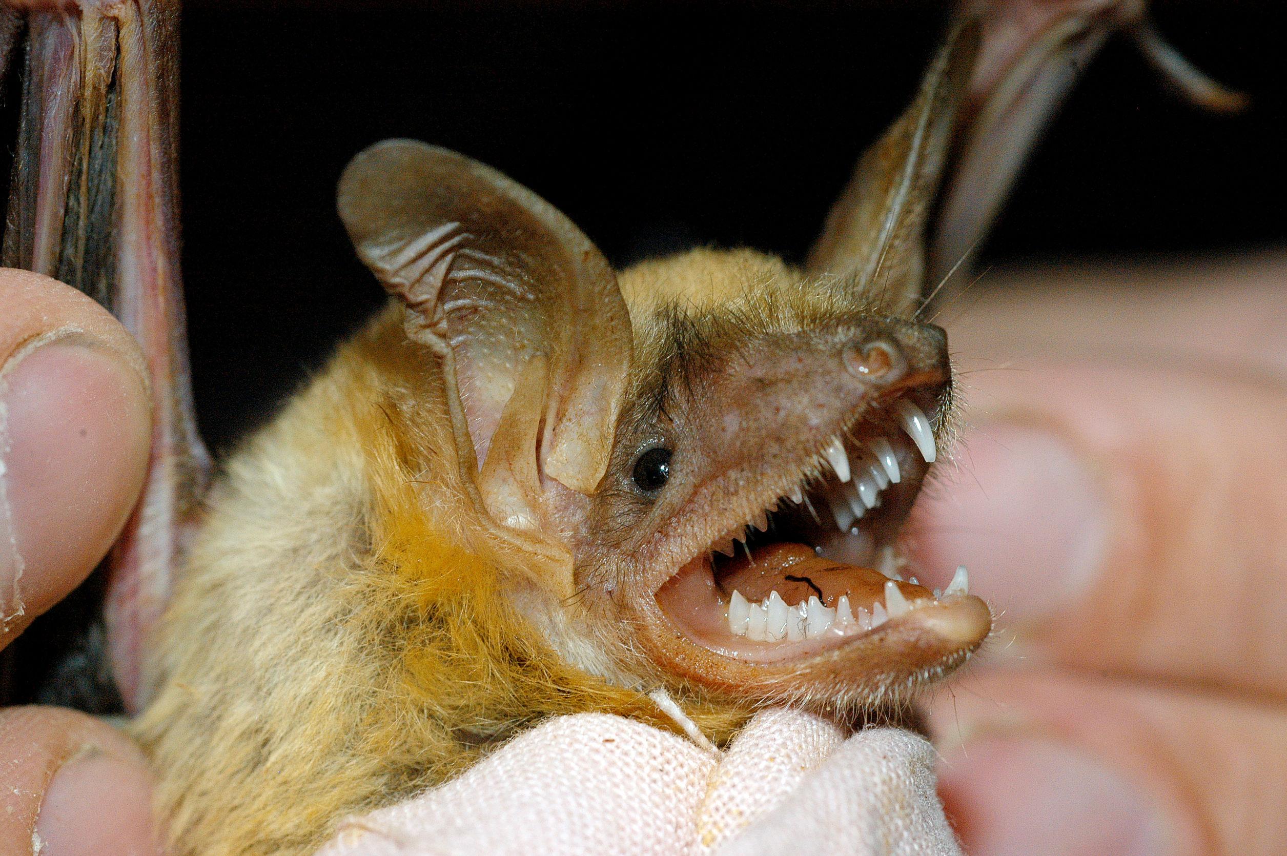 Identifying Bats In Virginia