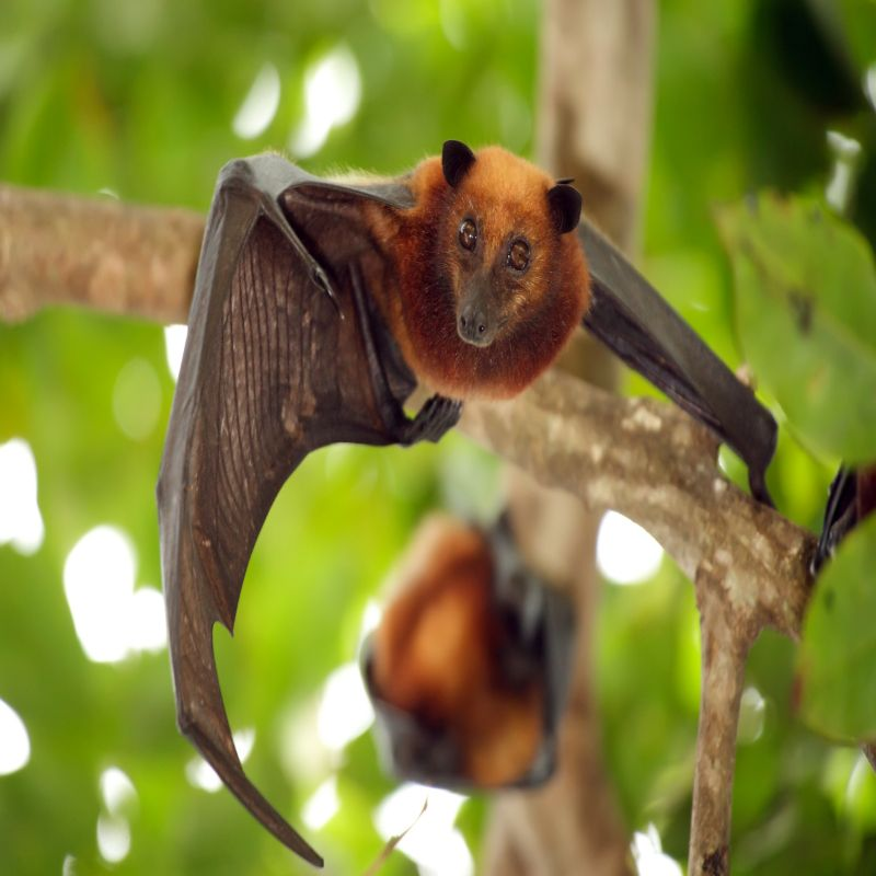 McLean Bat Removal