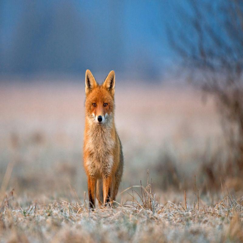 VIRGINIA Fox Removal