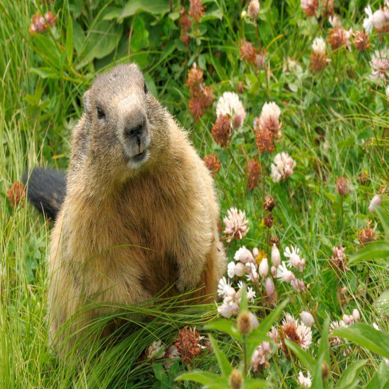 McLean Groundhog Removal