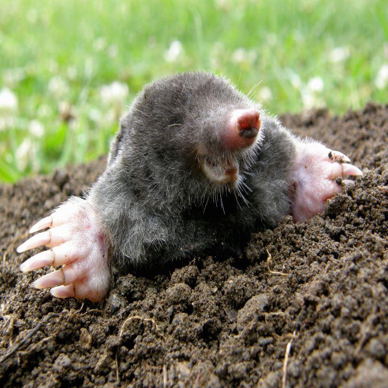 VIRGINIA  Mole Removal