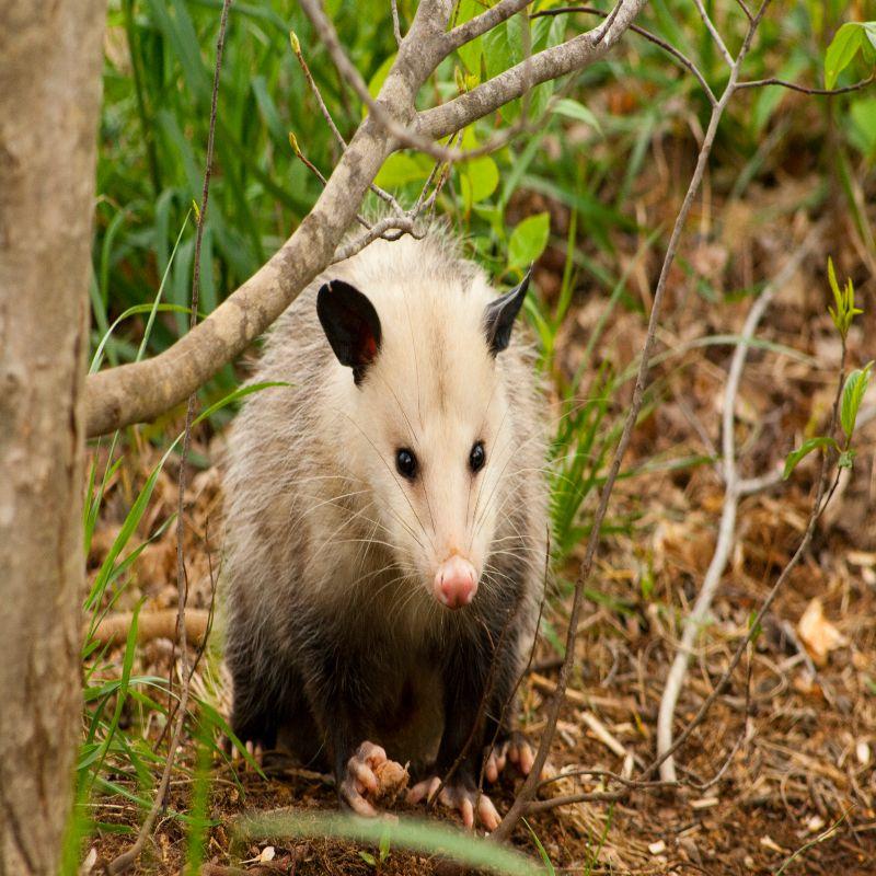 VIRGINIA Opossum Removal