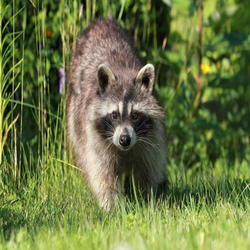 VIRGINIA Raccoon Removal