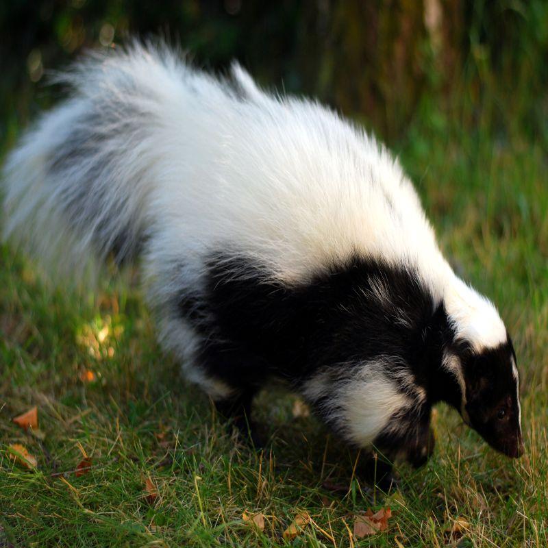 McLean Skunk Removal