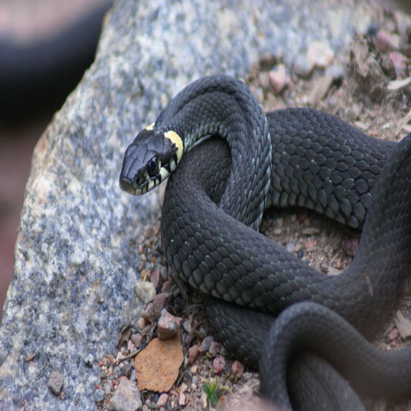 VIRGINIA Snake Removal